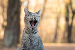 Tabby cat yawning. Funny tabby cat yawning and showing its teeth with fall color background Stock Images