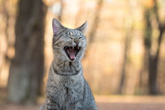 Tabby cat yawning. Funny tabby cat yawning and showing its teeth with fall color background Royalty Free Stock Images