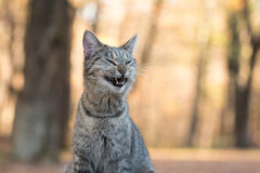 Tabby cat yawning. Funny tabby cat yawning and showing its teeth with fall color background Royalty Free Stock Image