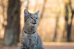 Tabby cat yawning. Funny tabby cat yawning and showing its teeth with fall color background Royalty Free Stock Photos
