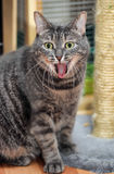 Tabby cat yawns Stock Photos