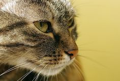 Tabby cat. Yellow background. Tabby cat on yellow background Royalty Free Stock Image