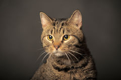 Tabby cat with yellow eyes stock photo