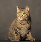 Tabby cat with yellow eyes Stock Images