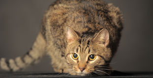 Tabby cat with yellow eyes Royalty Free Stock Photos