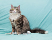 Tabby cat with yellow eyes playing with beads and silver Christm Stock Image
