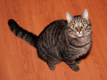 Tabby cat with yellow eyes sits Royalty Free Stock Photography