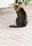 Tabby Cat with Yellow Eyes sitting on Walkway. Closeup Royalty Free Stock Image