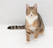 Tabby cat with yellow eyes sitting with a wary views Stock Photography