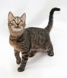 Tabby cat with yellow eyes standing lifted foreleg Royalty Free Stock Image