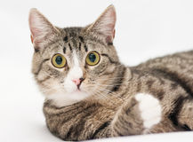 Tabby cat with yellow eyes and white nose looking forward Royalty Free Stock Photos