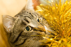 Tabby Cat and Yellow Tinsel Royalty Free Stock Photography