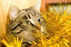 Tabby Cat and Yellow Tinsel Stock Image