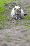 Tabby cat with a young rabbit on its mouth Royalty Free Stock Photo