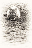 A tabby cat with a young rabbit on its mouth Stock Images