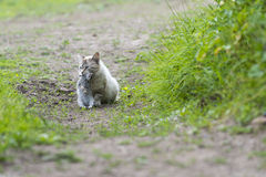 Tabby cat with a young rabbit on its mouth Royalty Free Stock Photos
