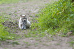 Tabby cat with a young rabbit on its mouth Stock Photography