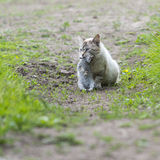 A tabby cat with a young rabbit on its mouth Royalty Free Stock Photo