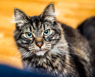Tabby Cat. A young tabby cat staring at the camera Royalty Free Stock Photo