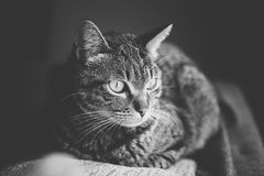 Tabby caton the top of a couch Stock Image