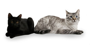 Tabby Cats. Two cats sitting by each other, Siamese in focus royalty free stock photos