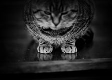 Tabby Cats' Paws On Glass Royalty Free Stock Photo