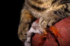 Tabby Cats Tatzen, die Spielzeug halten Stockfoto