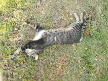 Tabby cay lay down and play on the green grass floor Royalty Free Stock Images