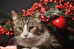 Tabby  Christmas cat Royalty Free Stock Photos