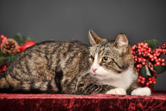 Tabby  Christmas cat Stock Images