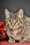 Tabby  Christmas cat Royalty Free Stock Images