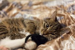 Tabby color kitten with white lying on a silk blanket with a toy stock image