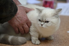 Tabby color point british shorthair Royalty Free Stock Image