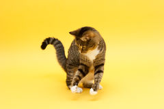 Tabby crazy greeneyed cat playing with toy Royalty Free Stock Photo