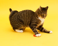Tabby crazy greeneyed cat playing with toy Royalty Free Stock Image