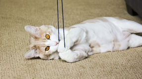 A Tabby Cream Cat Playing with Yarn Stock Image