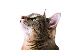 Tabby curious cat royalty free stock images