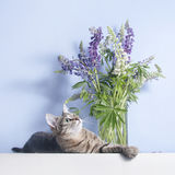 Tabby cute cat lies near lupines in vase Stock Photography