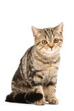 tabby de chat photo stock