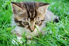 tabby del gattino Immagine Stock