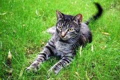 tabby del gatto Immagine Stock