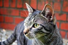 tabby del gatto Fotografie Stock