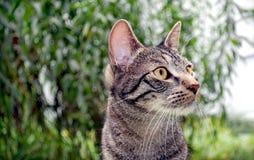 tabby del gatto Fotografia Stock
