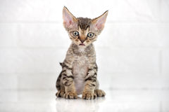 Tabby devon rex kitten sitting Royalty Free Stock Photo