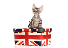Tabby devon rex kitten sitting on a box Royalty Free Stock Images