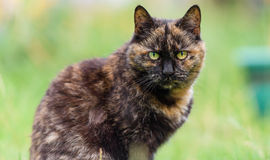 Tabby domestic cat portrait in garden with yellow eyes Royalty Free Stock Image