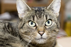 Tabby domestic cat relaxing, looking at camera Royalty Free Stock Photos
