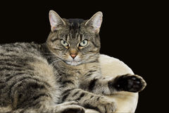 Tabby domestic cat relaxing, looking at camera Royalty Free Stock Photography