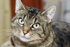Tabby domestic cat relaxing, looking at camera Stock Photo