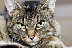 Tabby domestic cat relaxing, looking at camera Stock Photography
